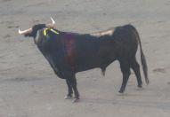 Bullfight!
