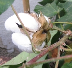 Cotton - Seeds!