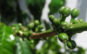 Koffie met groene bonen!