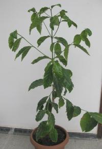 Koffie plant!