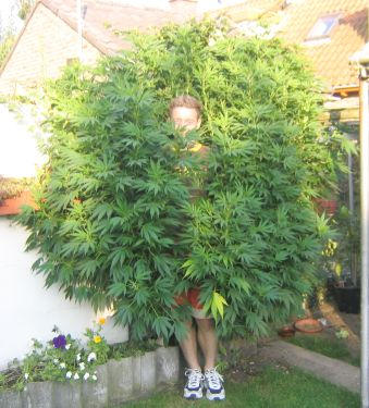 Enormous marihuana plant!