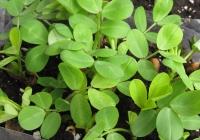 Pinda plant!