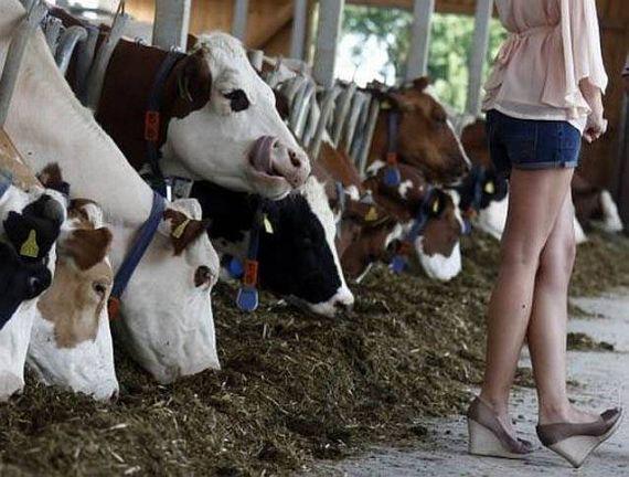 Smart cow!